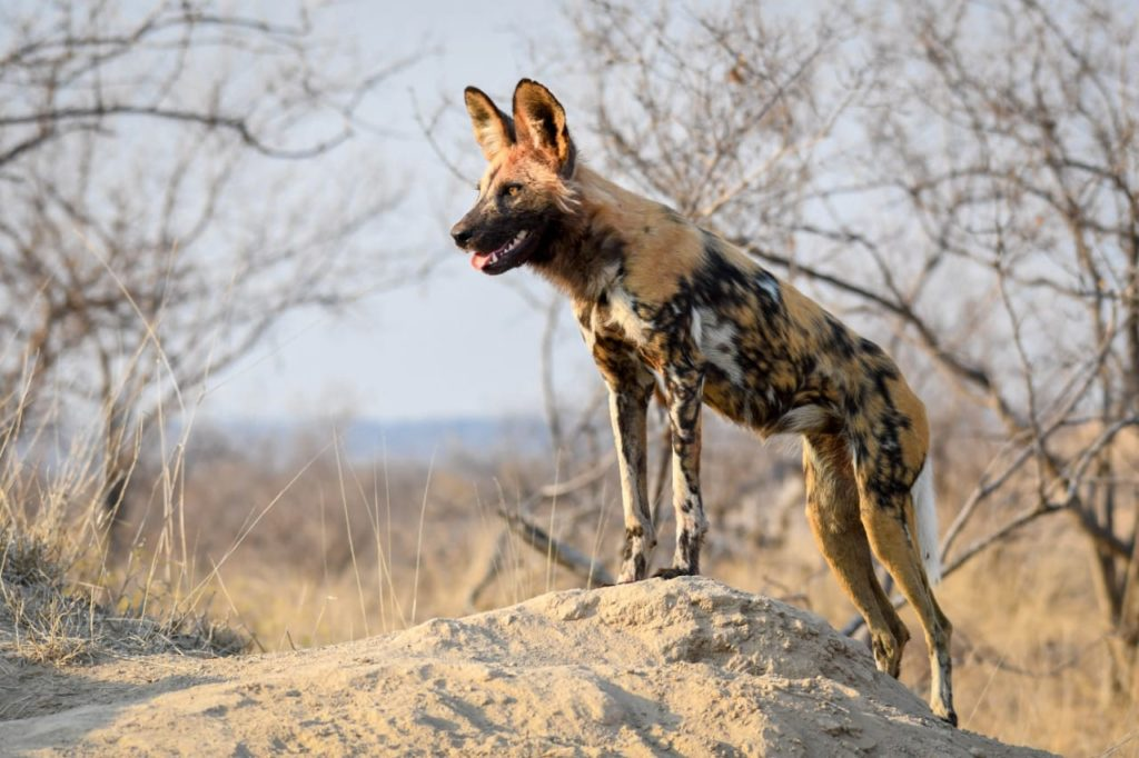 RV_ A wild dog keeping an eye out for the return of the rest of the pack