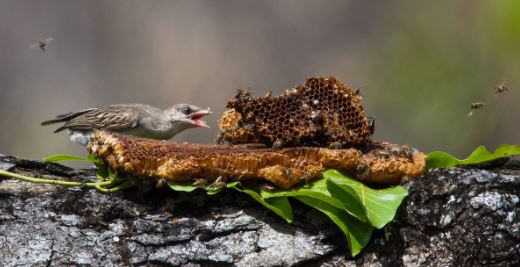 African Honeyguide eating honey comb taken by a honey badger from a hive