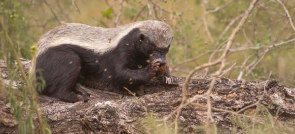 A Honey badger eating honey comb recently extracted from a hive.