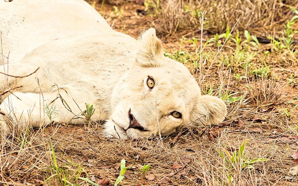 The Lions of the Timbavati | Kambaku Lodges